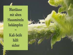 Blattläuse ohne Chemie bekämpfen