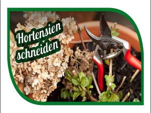 Hortensien im Frühjahr schneiden