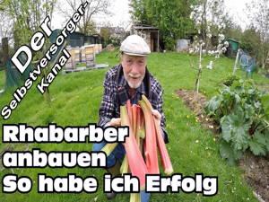 Rhabarber im Garten anpflanzen
