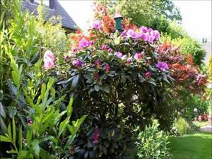 Rhododendron zurück schneiden