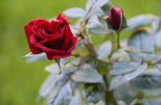 Rosen im Garten winterfest bekommen