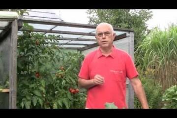 tomaten ausgeizen tipp 5. Black Bedroom Furniture Sets. Home Design Ideas