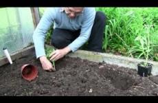 Tomaten in den Garten setzen / Tipp 4