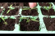 Tomaten pikieren / Tipp 2