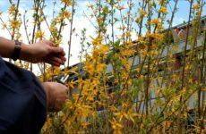 Forsythie im Garten schneiden
